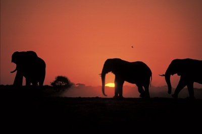 Elephant family at sunset, on the Chobe River, Botswana