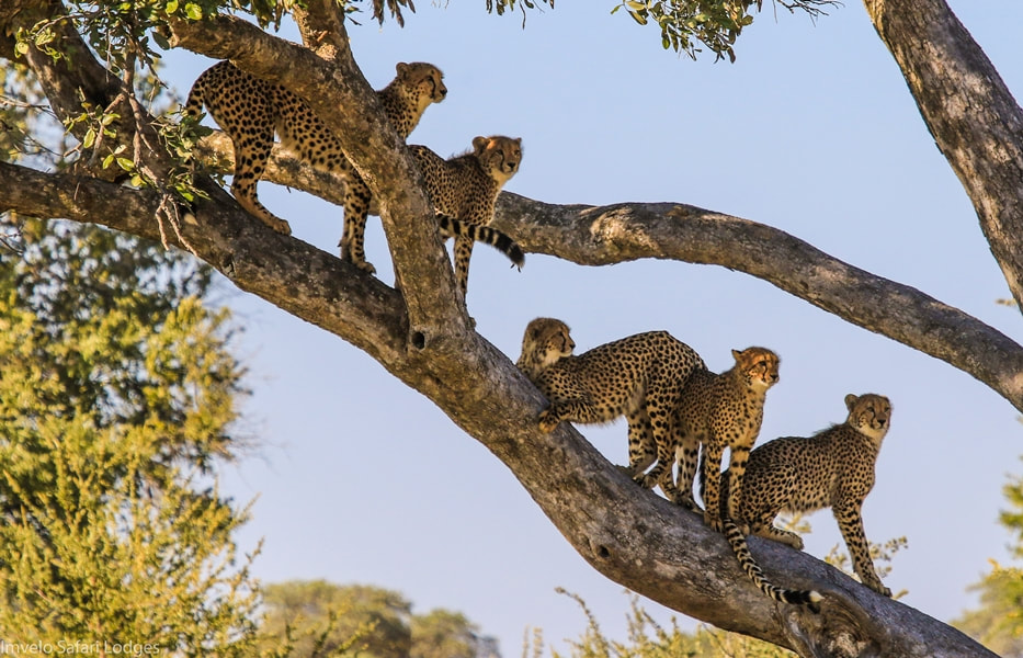 Cheetah family in a tree, southern Hwange National Park, Zimbabwe