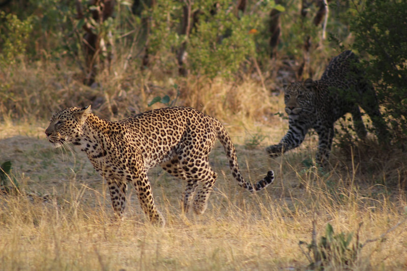 Leopards playing, Moremi Game Reserve, Botswana