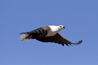 African Fish Eagle (Halieatus vocifer)
