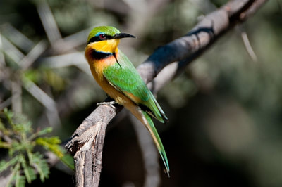 Little bee-eater(Merops pusillus)