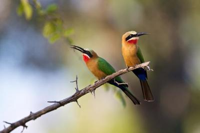 White-throated Bee-eaters (Merops albicollis)