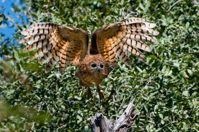 Pels's Fishing Owl on the hunt in the Okavango Delta